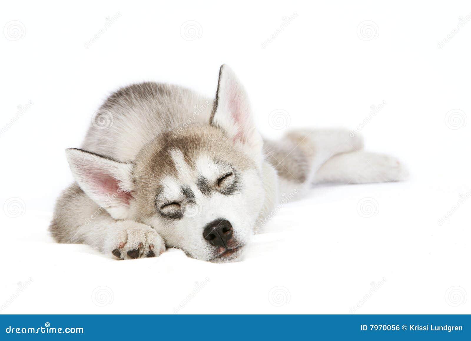 Perrito fornido el dormir