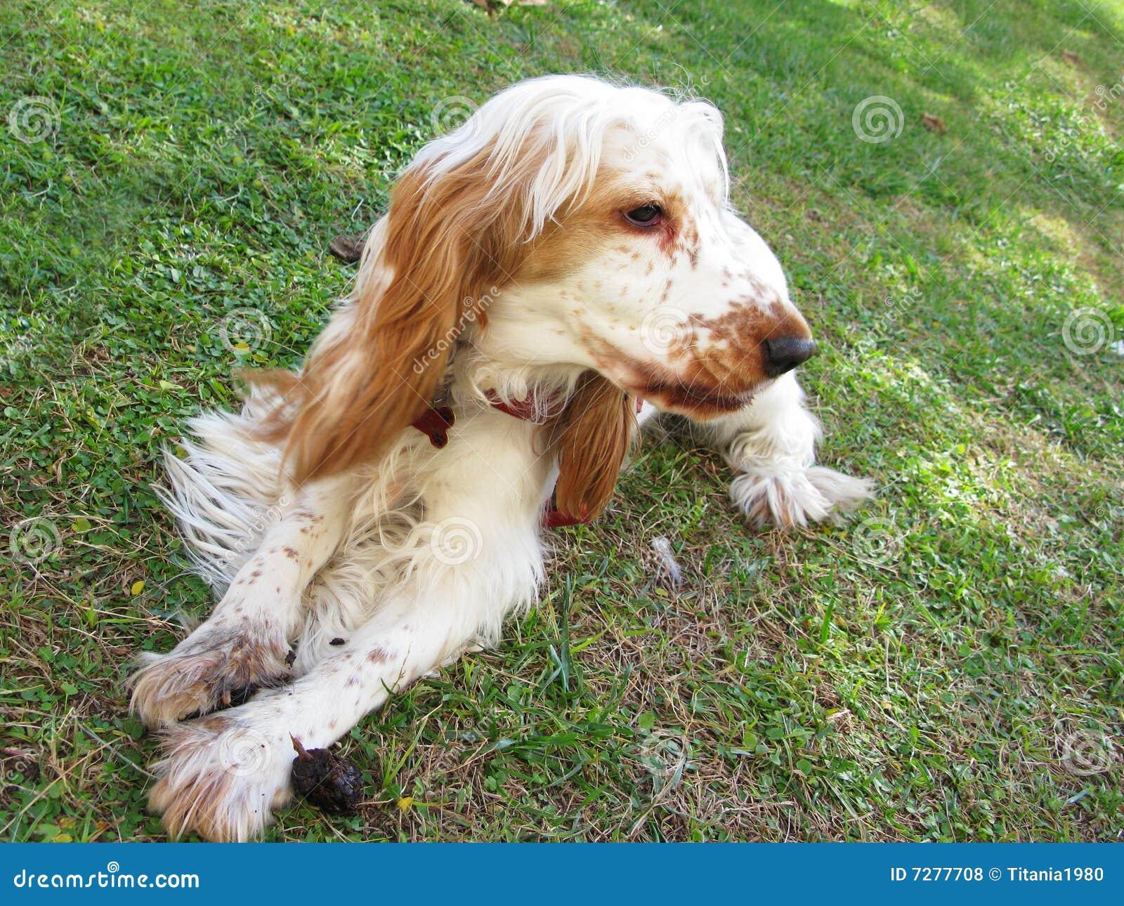 Perrito inglés del perro de aguas de cocker