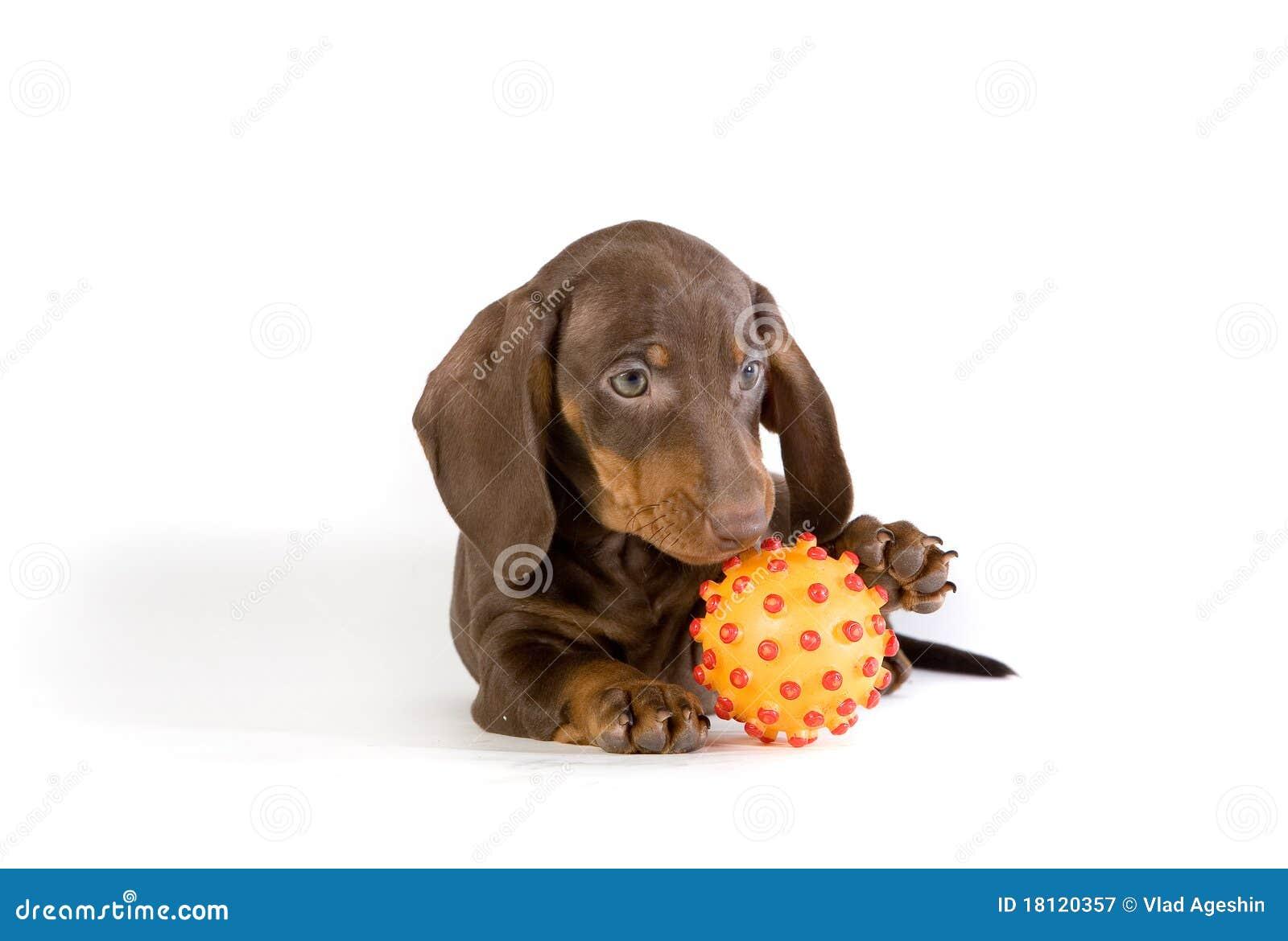 Perrito juguetón del dachshund