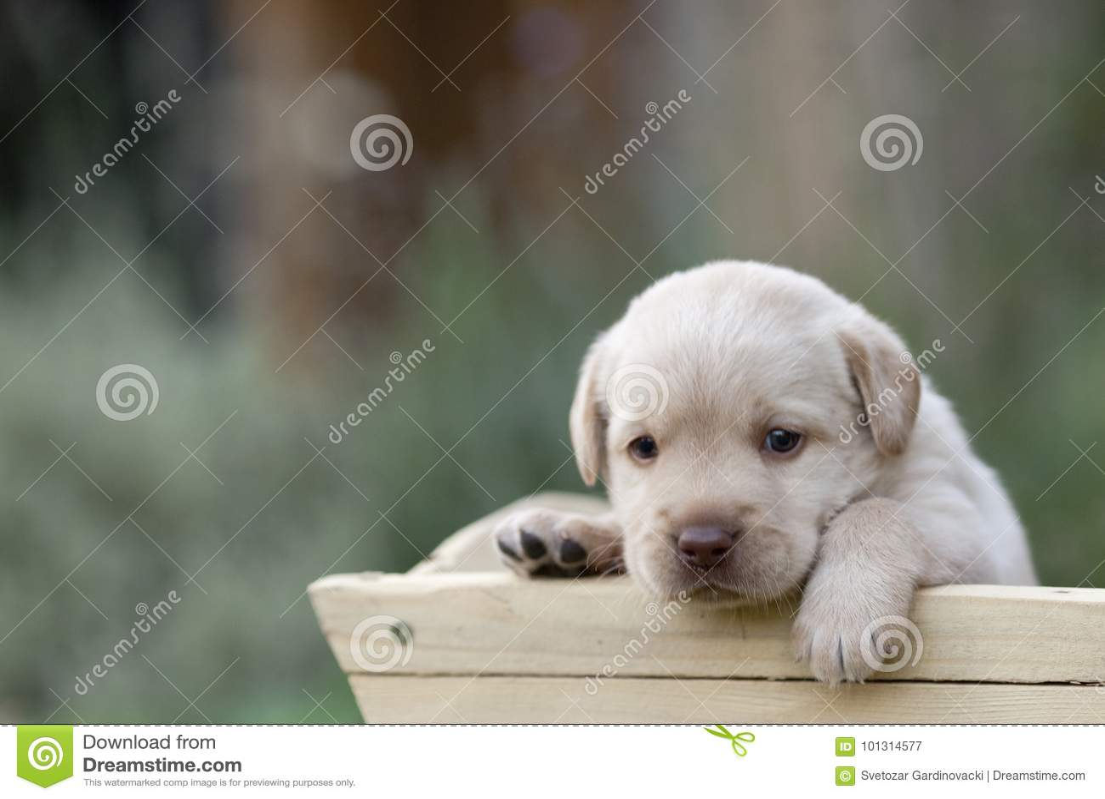 Perrito lindo de Labrador