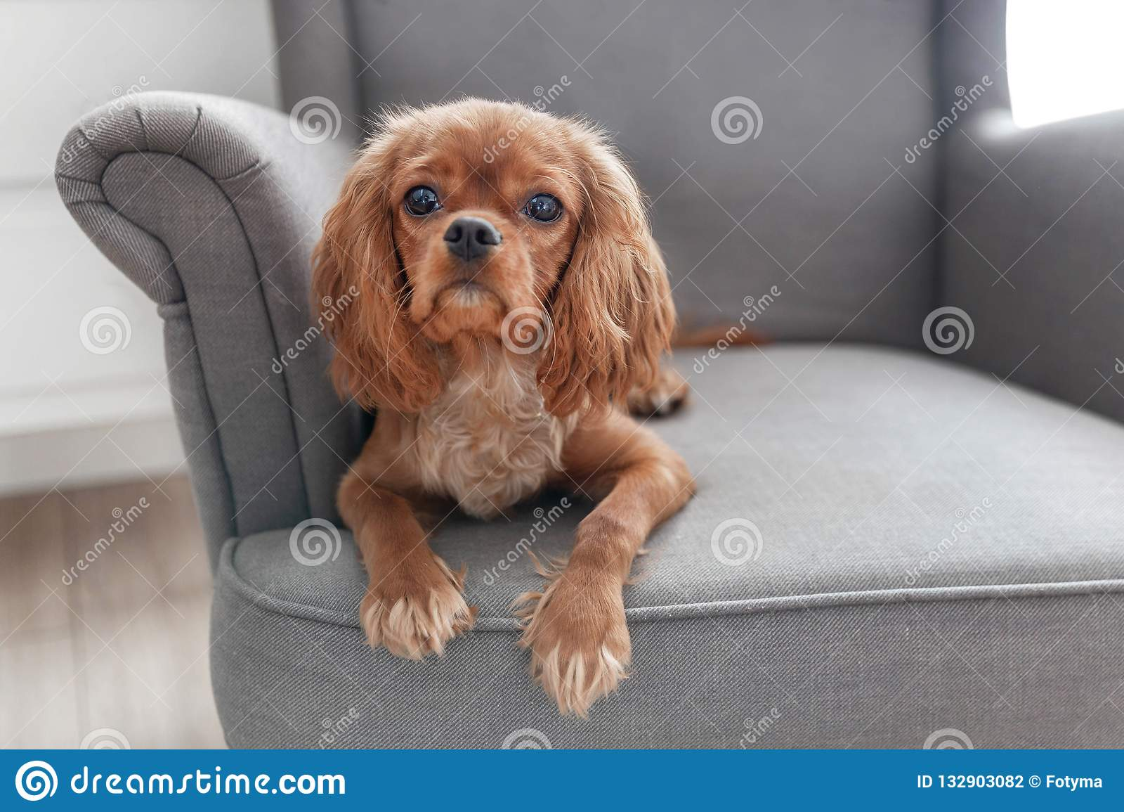 Perrito lindo del perro de aguas arrogante