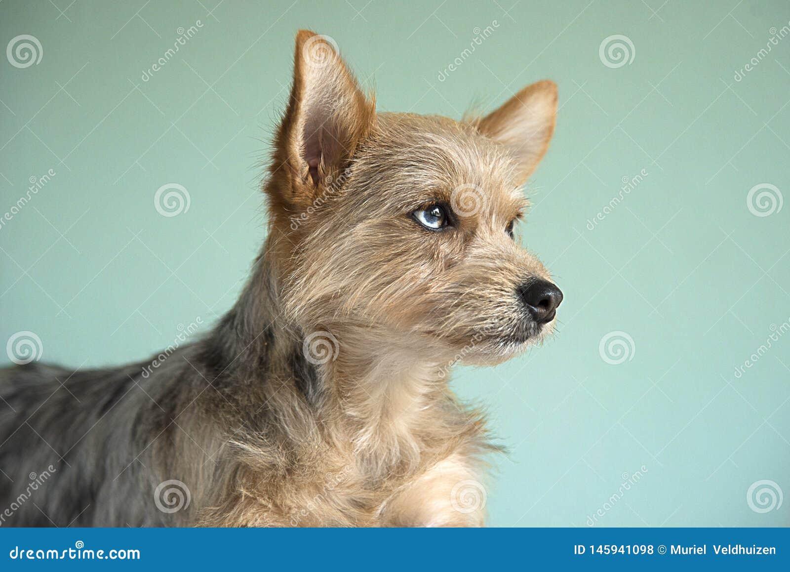 Perrito lindo del perro de la mezcla con un ojo del bleu