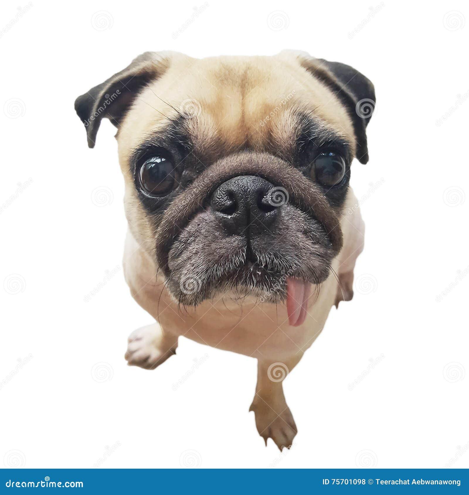 Perrito lindo del perro del barro amasado de la cara del primer con la lengua que pega hacia fuera la cámara de la mirada Perro d