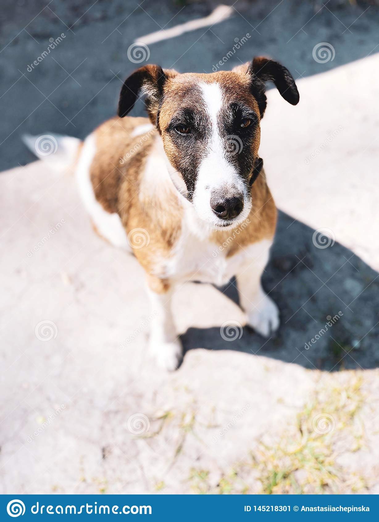 Perrito lindo del perro del terrier de Russell del enchufe con el cuello al aire libre
