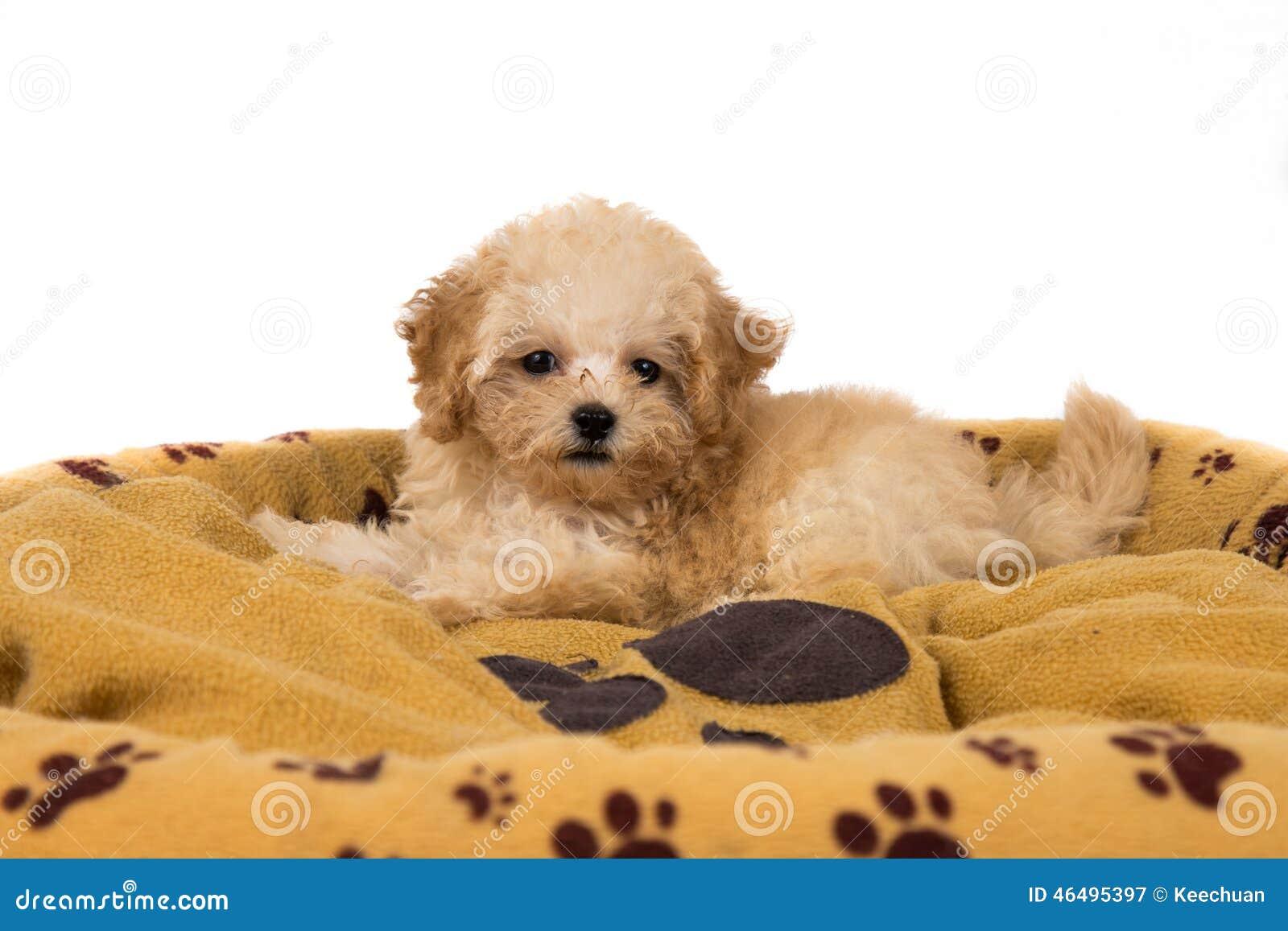 Perrito lindo y curioso del caniche que descansa sobre su cama