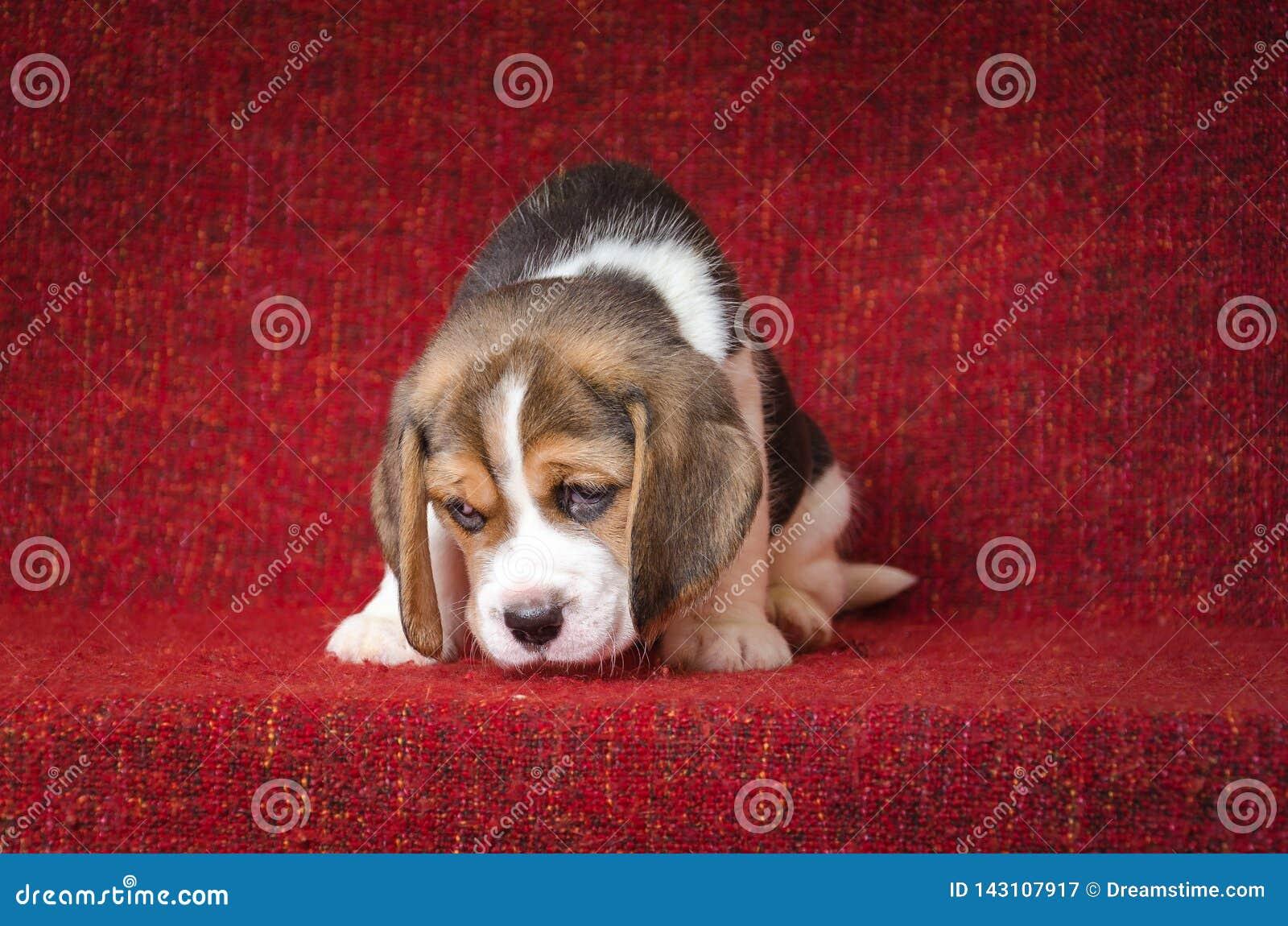Perrito lindo y triste del beagle en fondo rojo