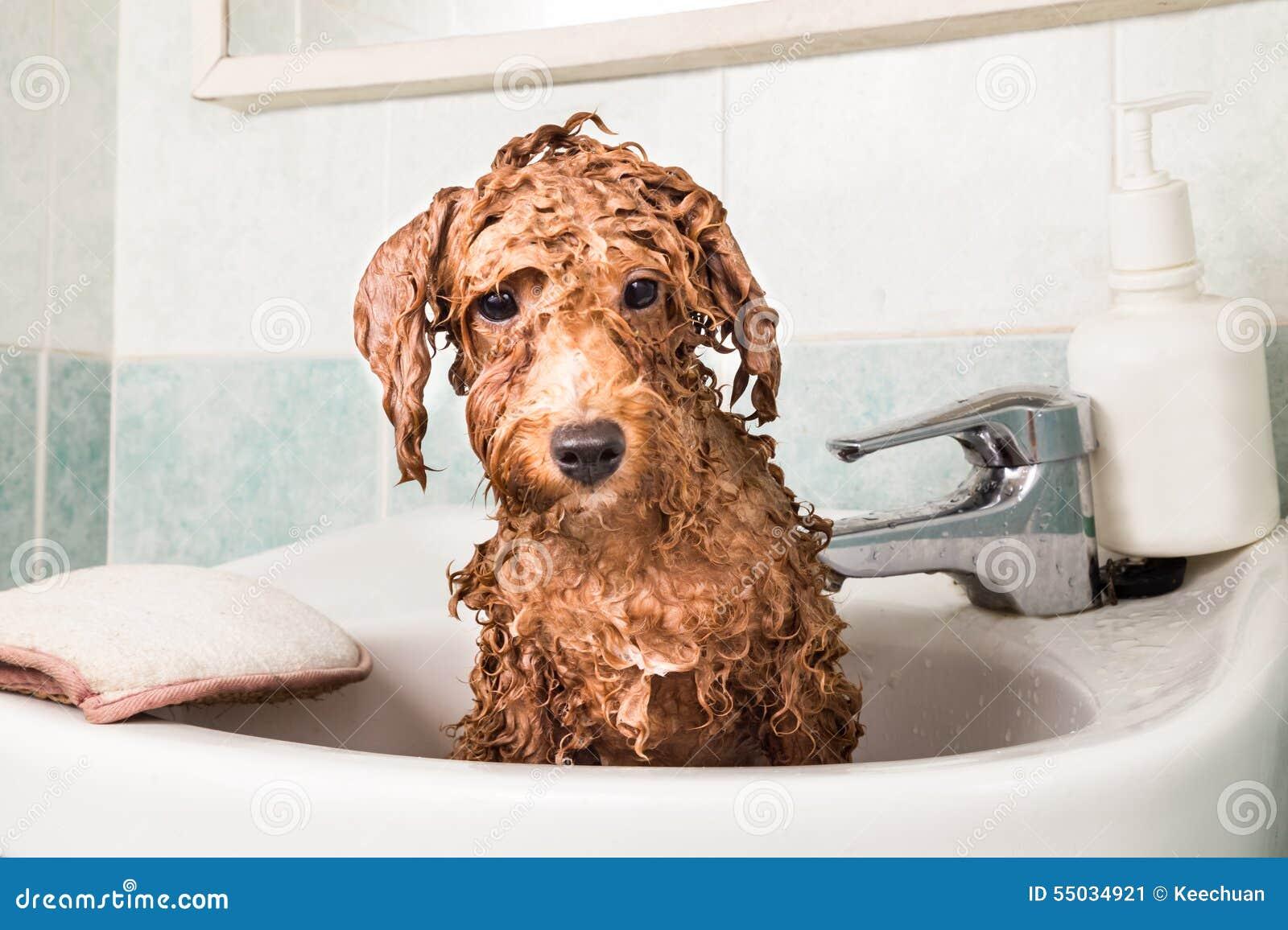 Perrito mojado del caniche que toma el baño en lavabo
