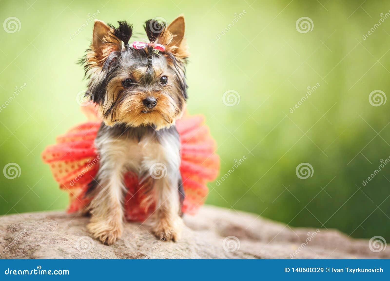 Perrito precioso del pequeño perro femenino de Yorkshire Terrier con la falda roja en fondo borroso verde