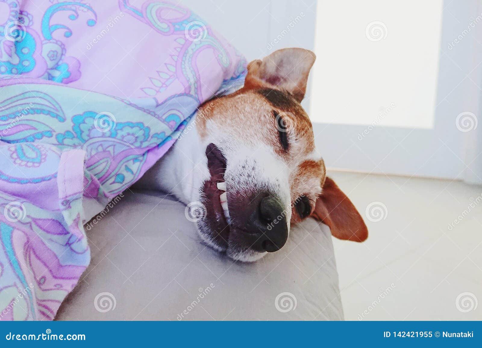 Perrito soñoliento lindo del bozal en manta