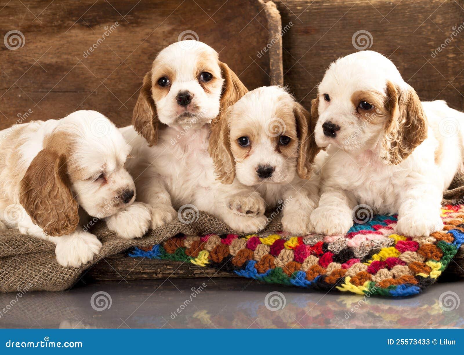 Perritos del perro de aguas de cocker