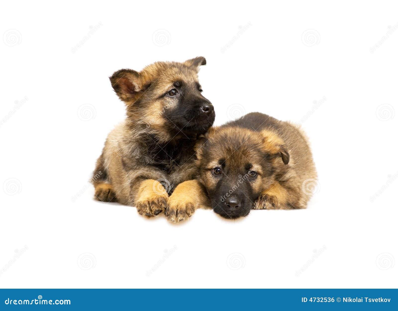 Perritos del perro pastor de Alemania