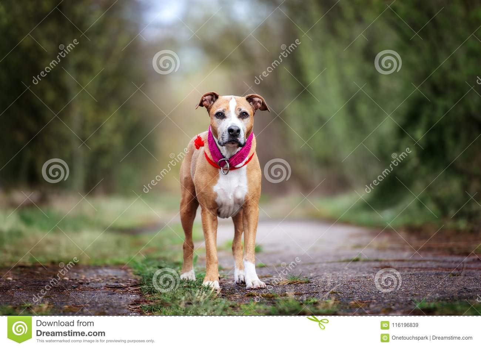 Perro americano del terrier de pitbull que presenta al aire libre