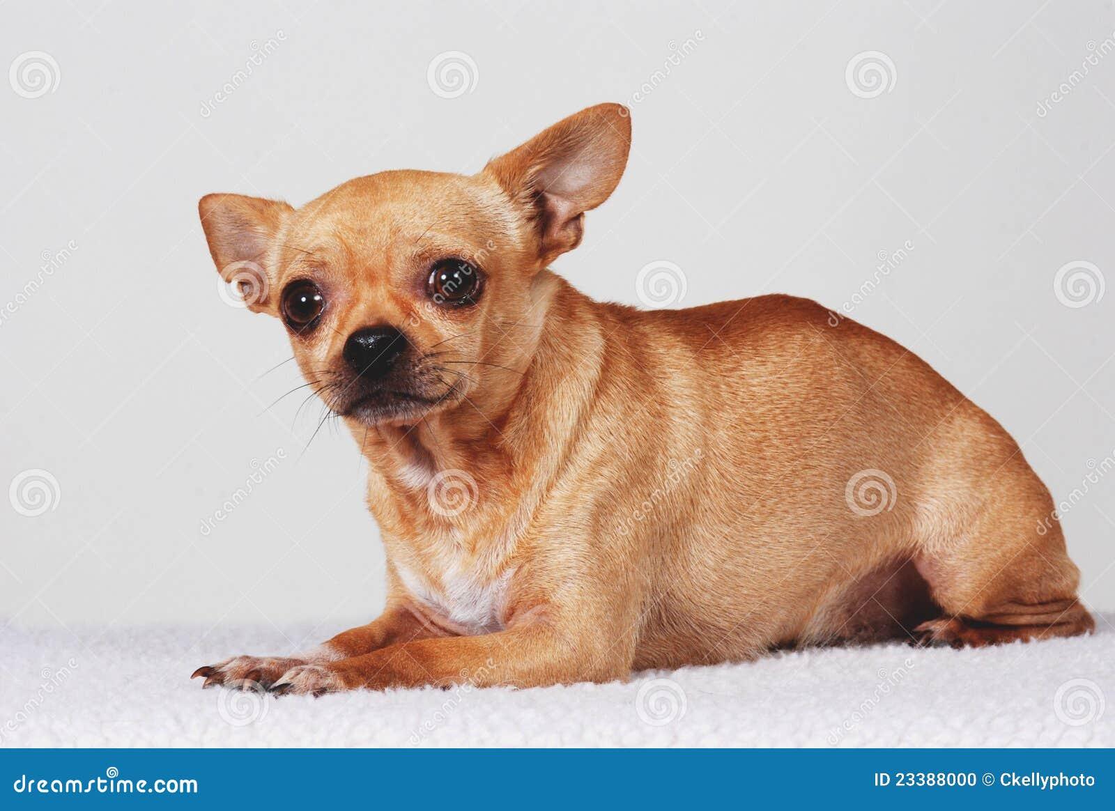 perro chihuahua fondo de - photo #40