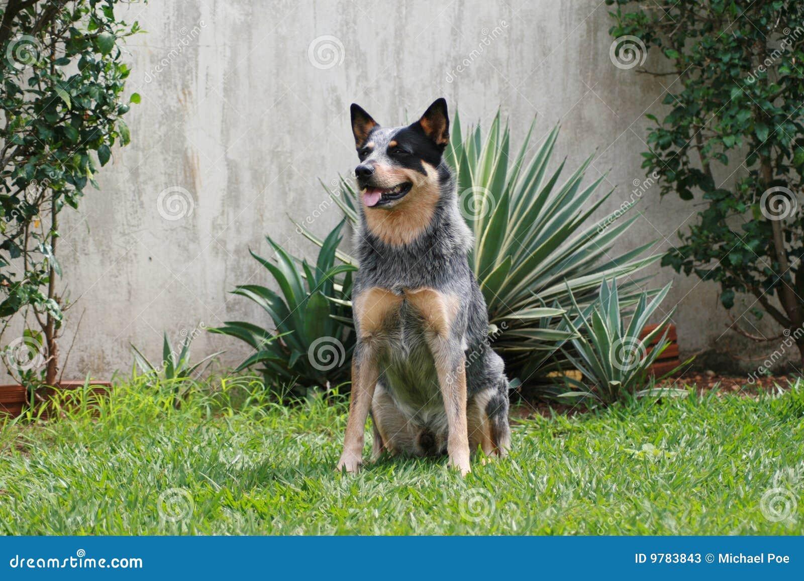 Perro australiano Heeler azul ACD del ganado