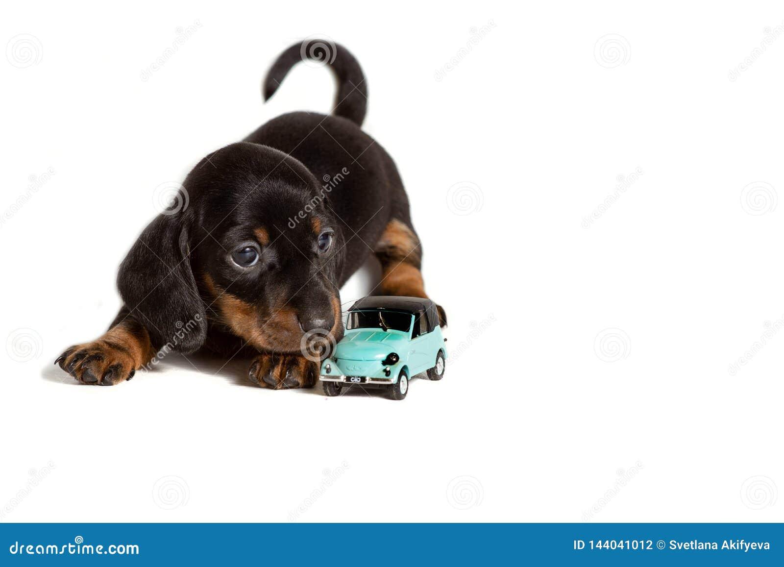 Perro basset adorable del perro de perrito que miente con el juguete del coche aislado en el fondo blanco