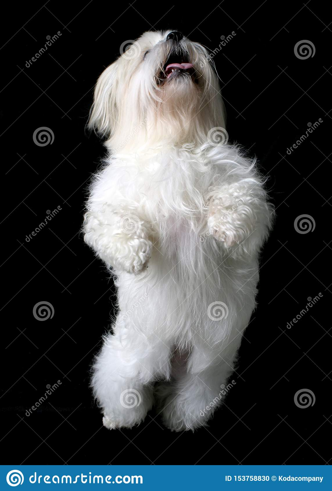 Perro blanco de baile