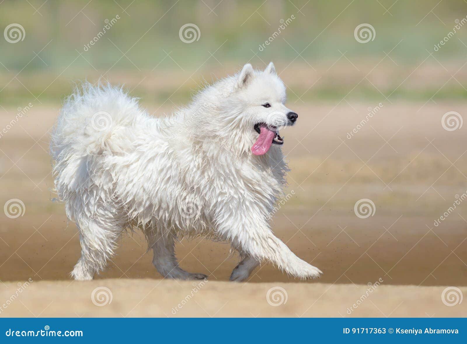Perro blanco del samoyedo que corre en la playa Fondo a todo color de la naturaleza