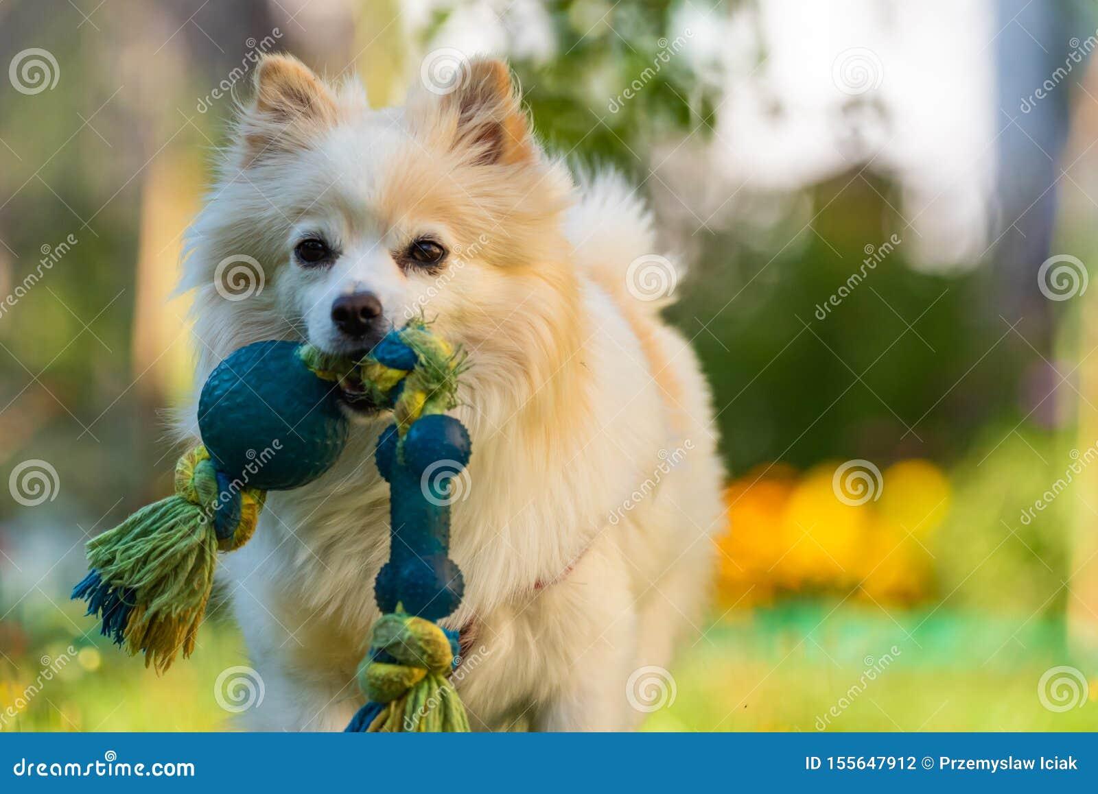 Perro blanco hermoso - klein alemán pomeranian del perro de Pomerania que trae un juguete que corre hacia cámara