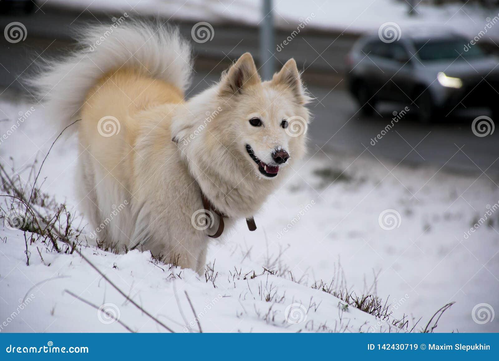 Perro blanco Laika que juega día de invierno soleado
