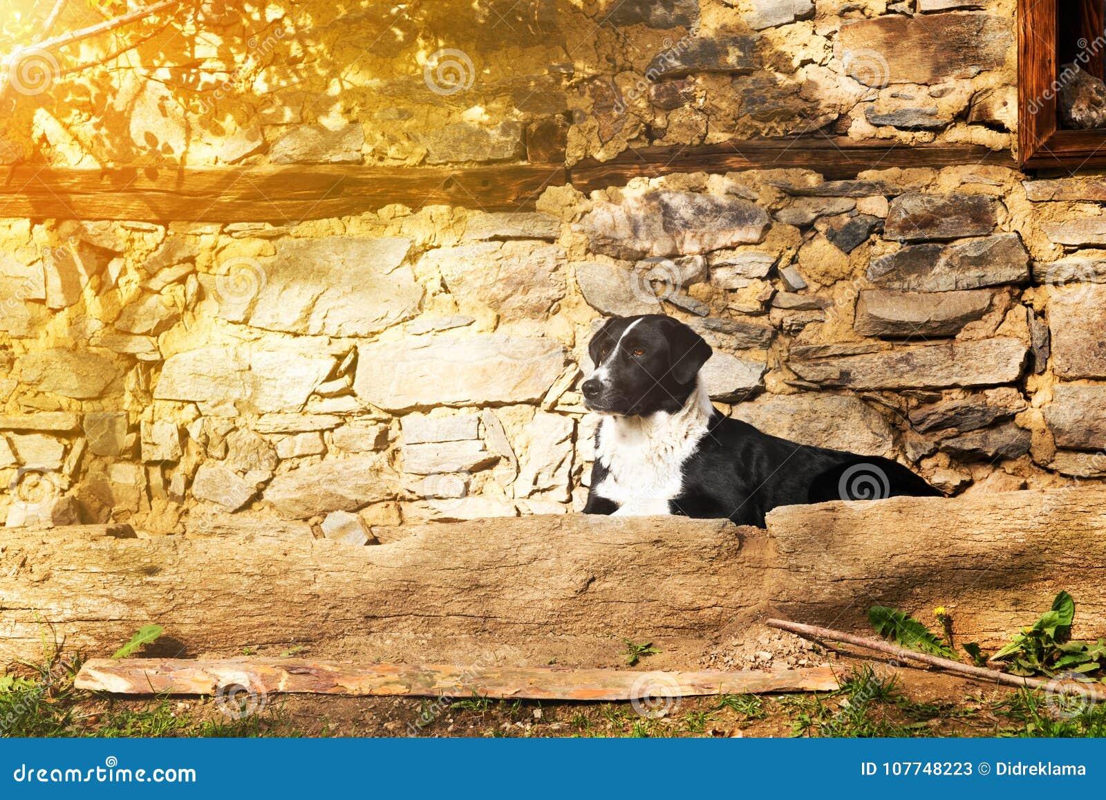 Perro Blanco Y Negro Que Miente En Una Terraza De Piedra