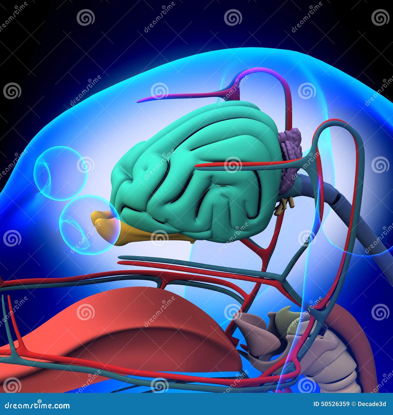Perro Brain Anatomy - Anatomía De Un Cerebro Masculino Del Perro ...