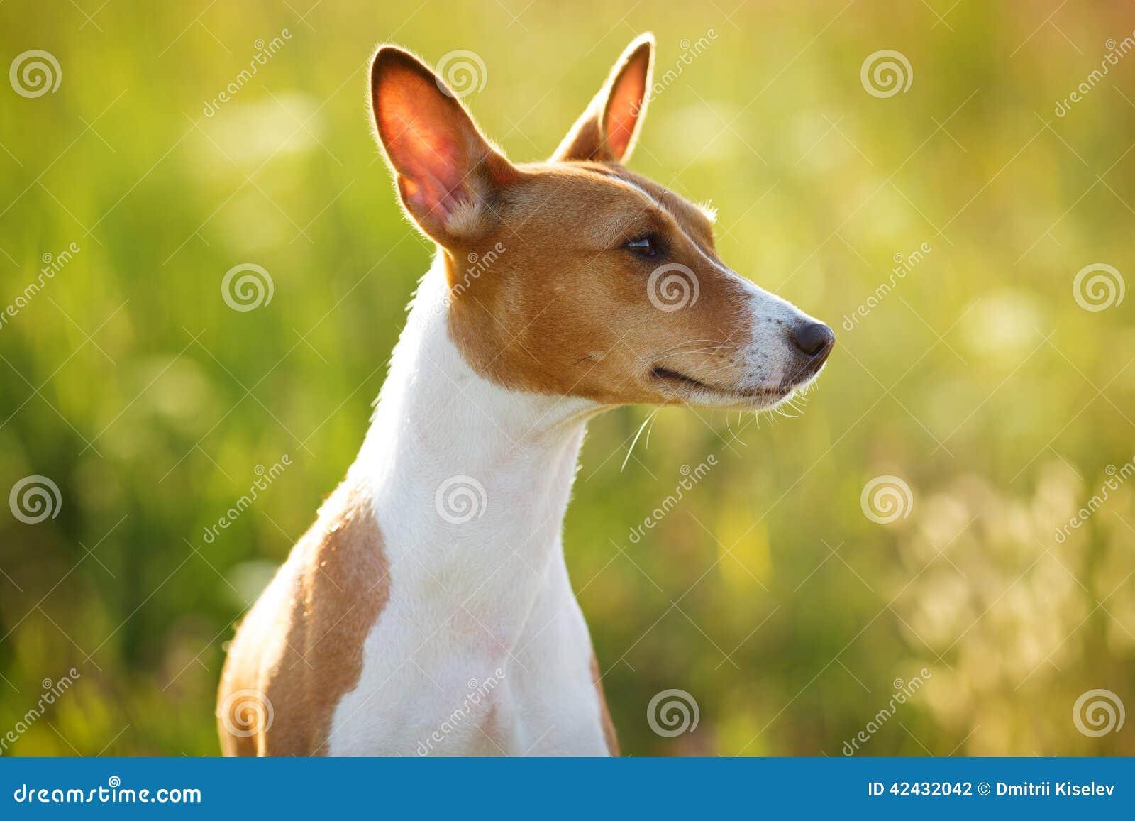 Perro Castaña-espigado que mira en alguna parte