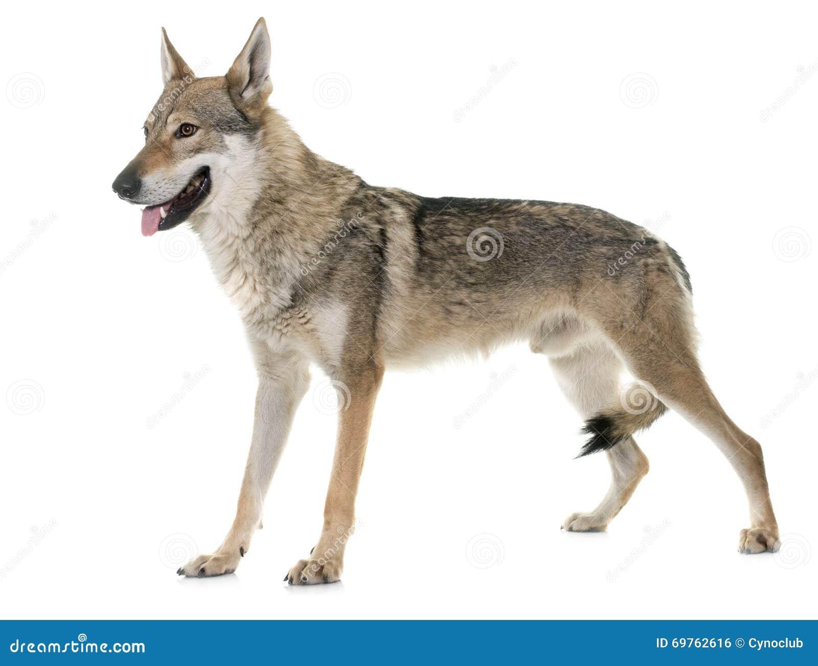 Perro checoslovaco del lobo