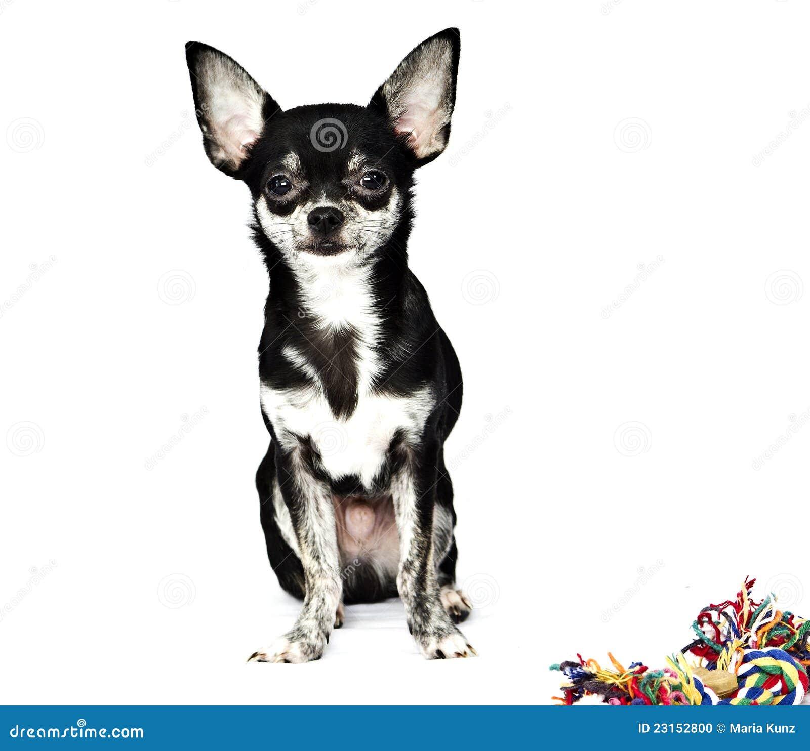 perro chihuahua fondo de - photo #10