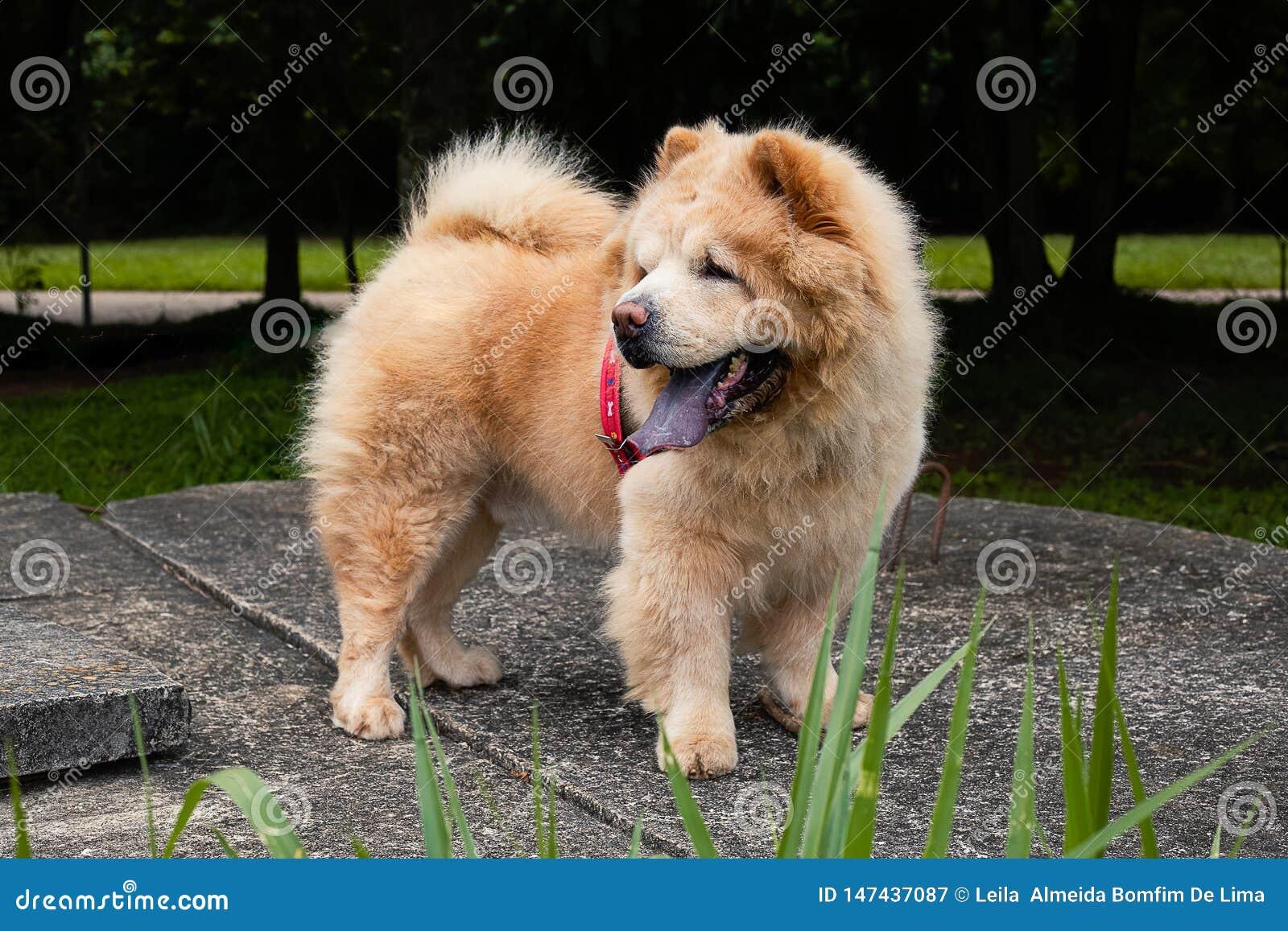Perro chino de Chow en el parque