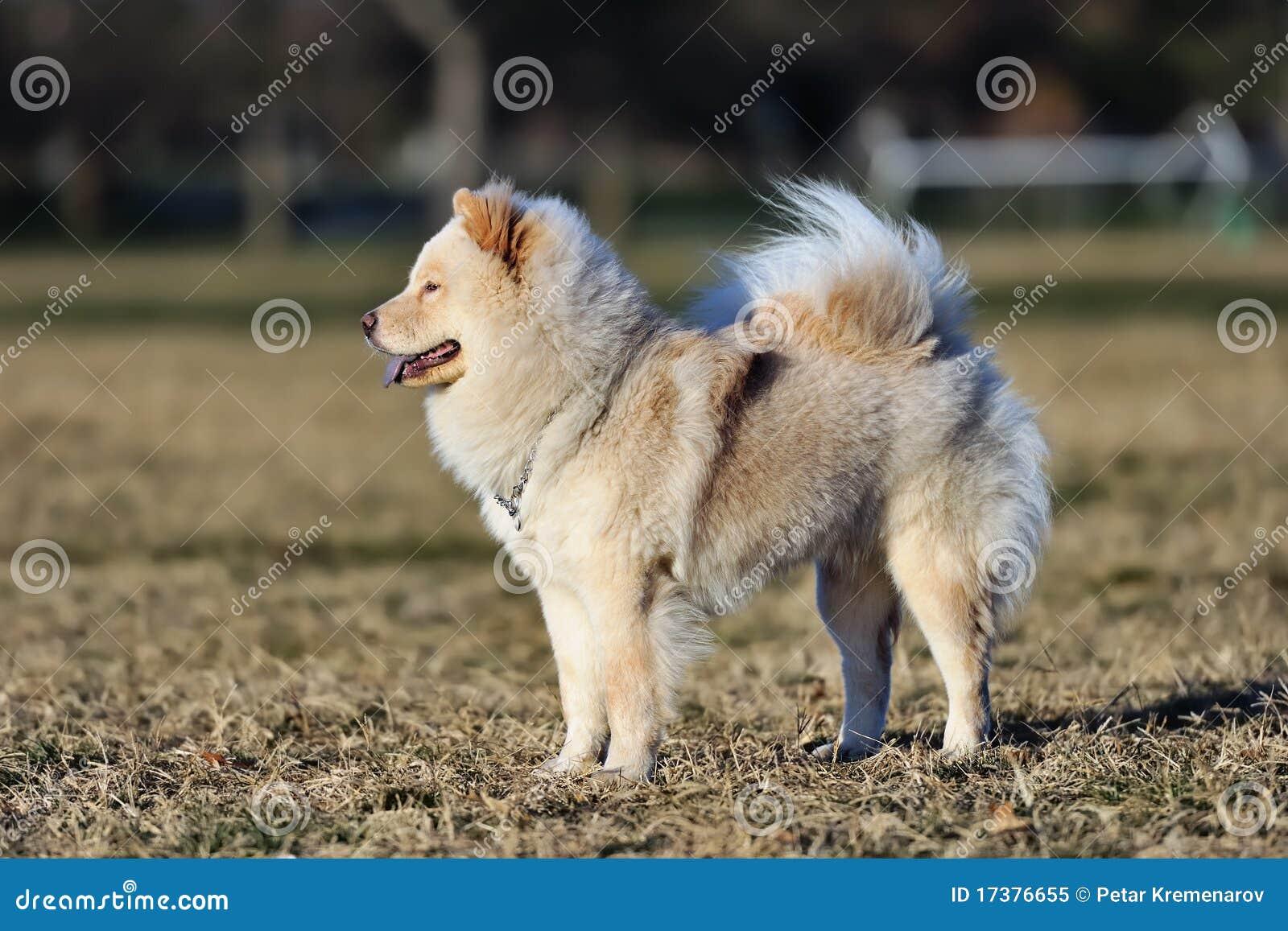 Perro chino de perro chino