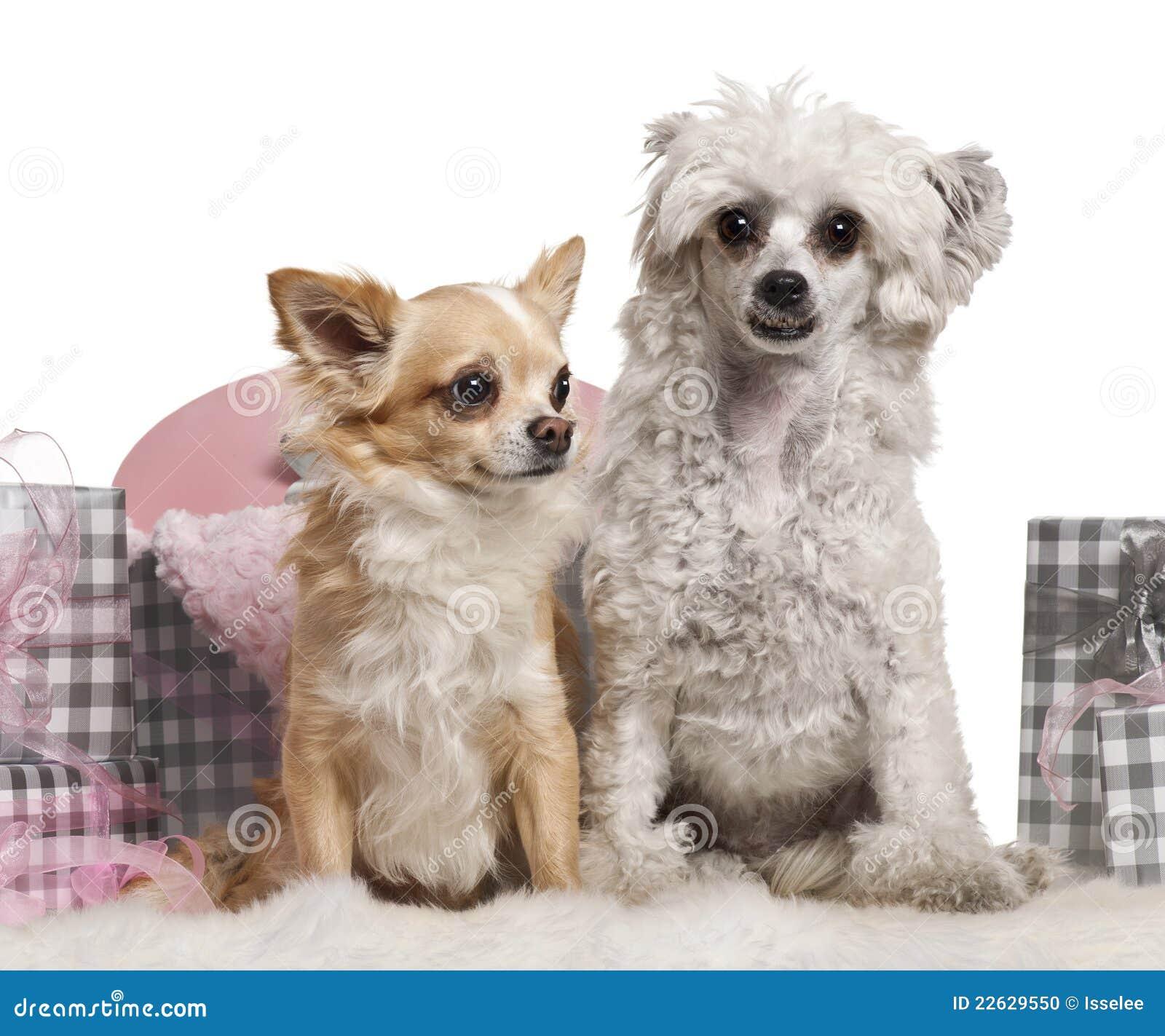 perro chihuahua fondo de - photo #14