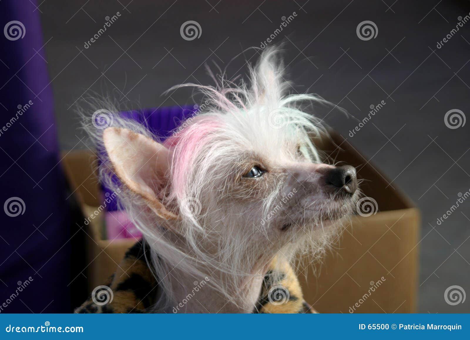 Perro con cresta chino pensativo