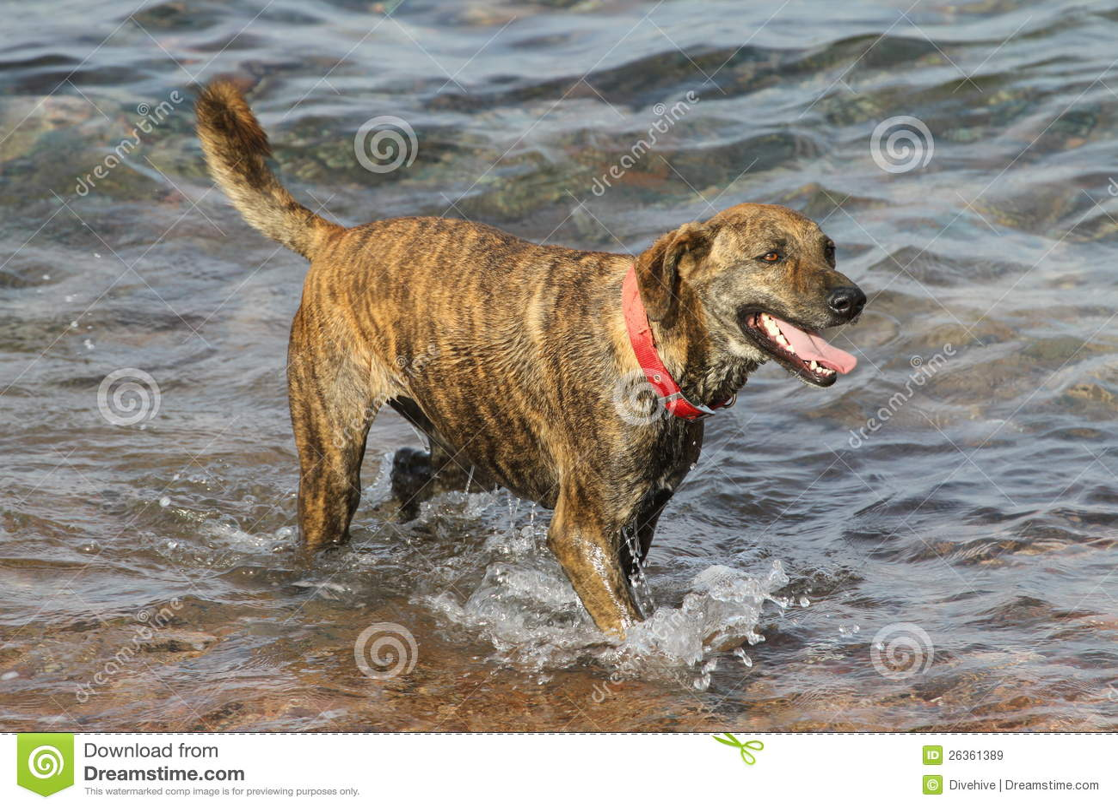 Perro con el collar rojo que se coloca en el agua