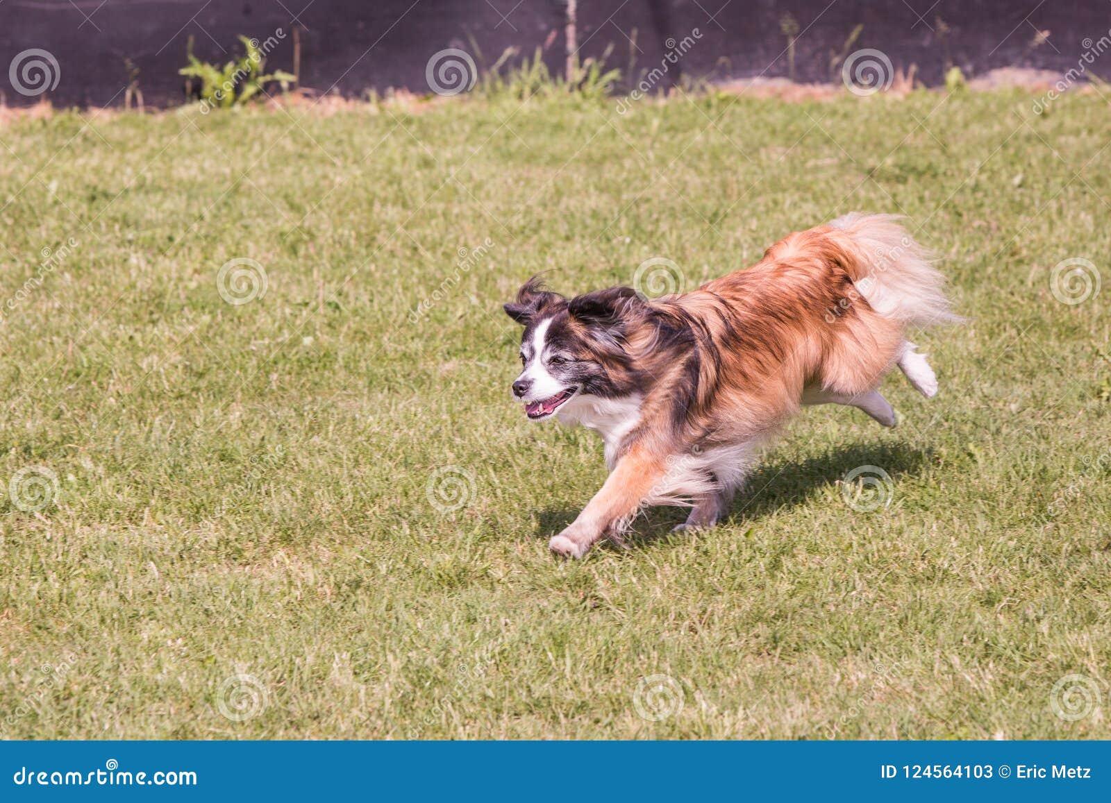 Perro continental de Toy Spaniel que vive en Bélgica