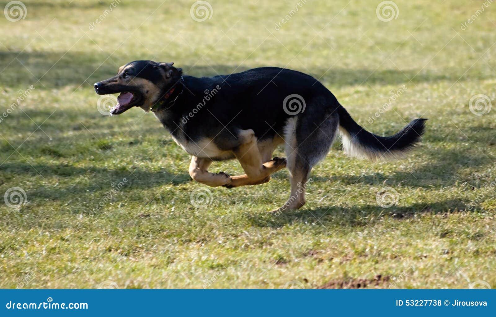 Perro corriente