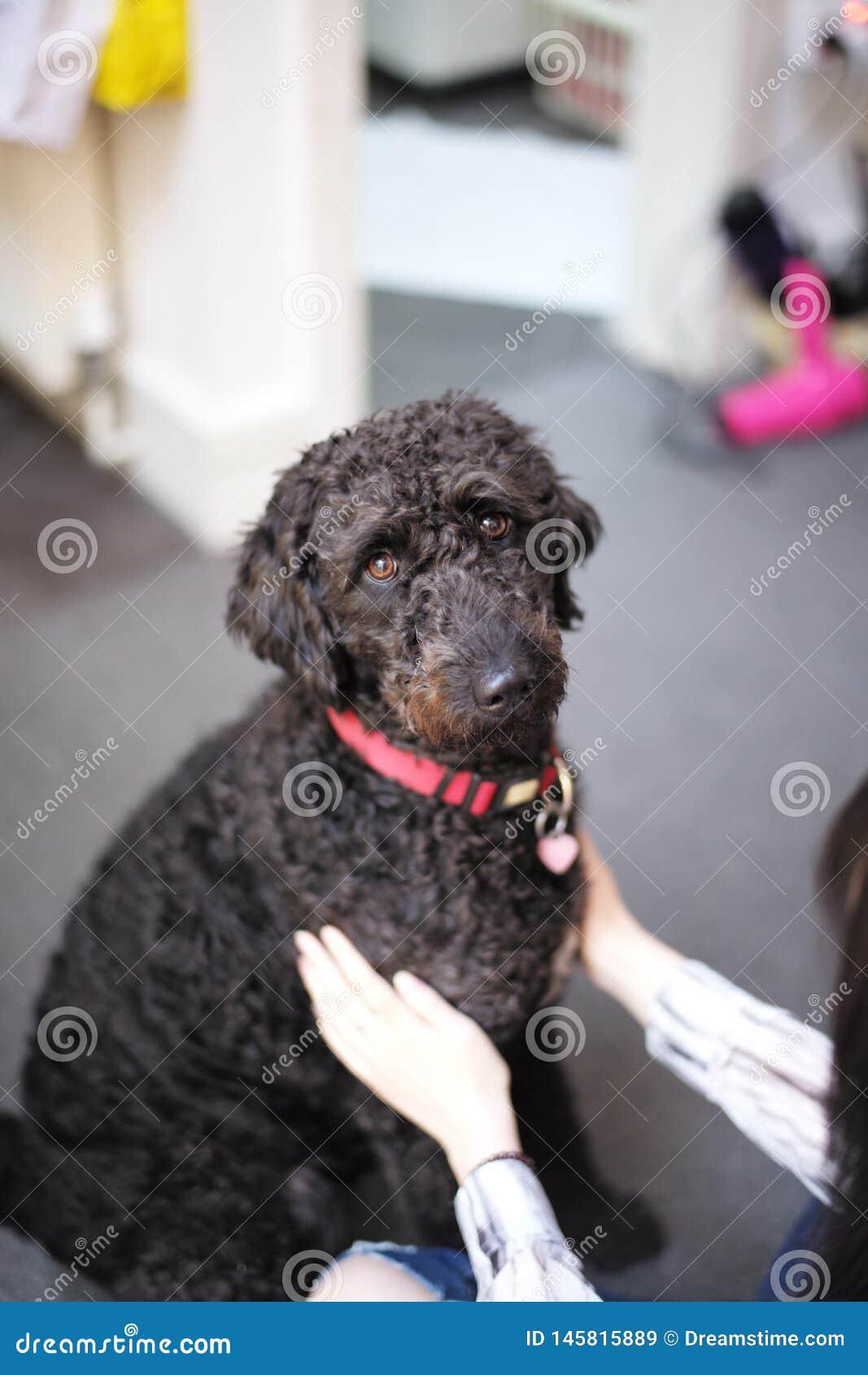 Perro cortado poco negro