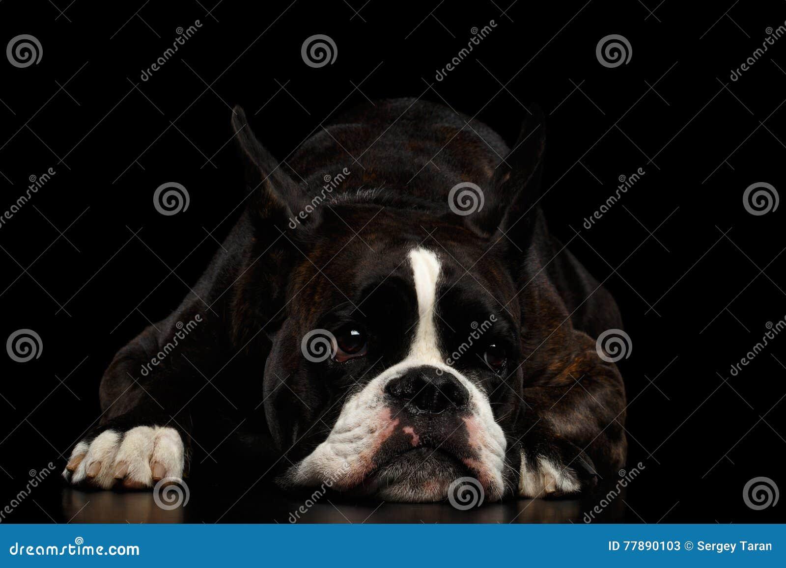 Perro Criado En Línea Pura Del Boxeador Aislado En Fondo Negro Foto de archivo