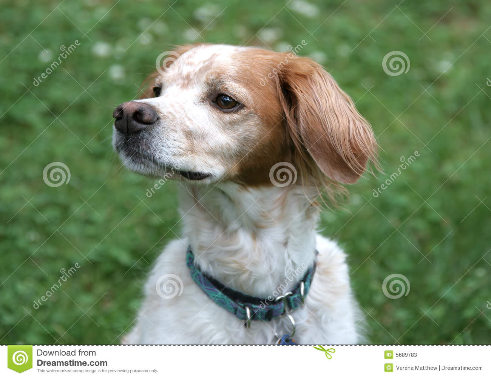 Perro de aguas de Bretaña