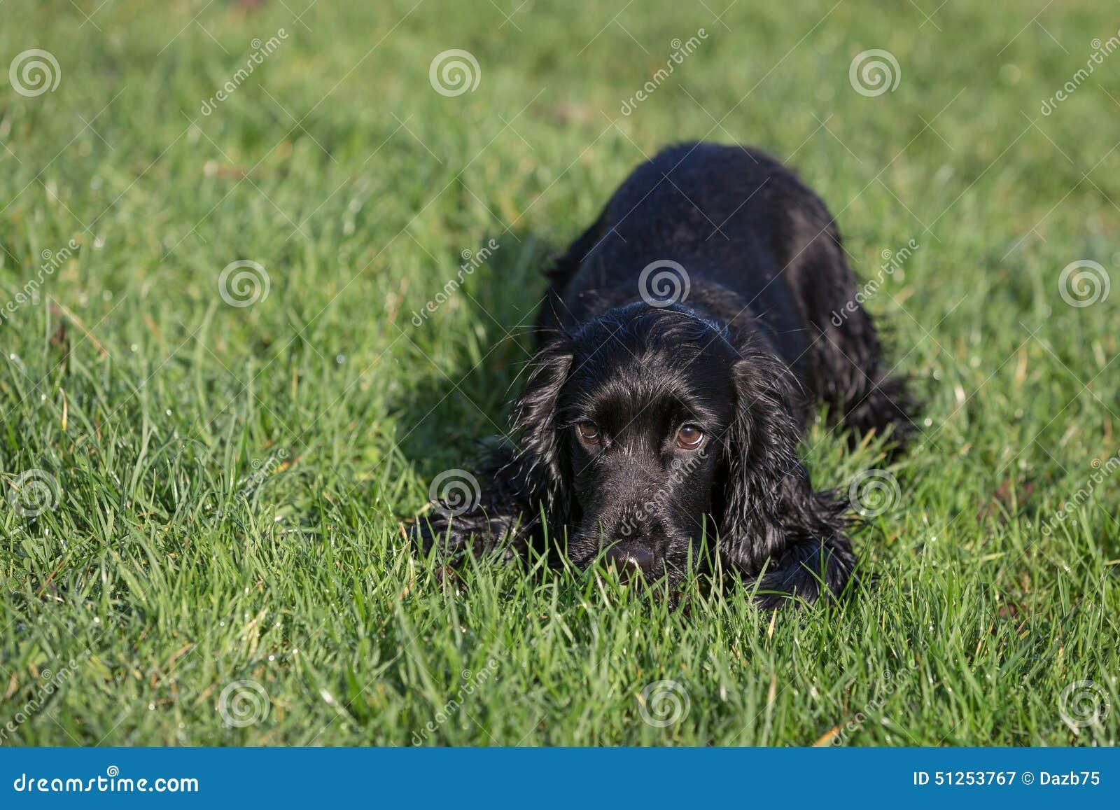Perro de aguas de cocker negro
