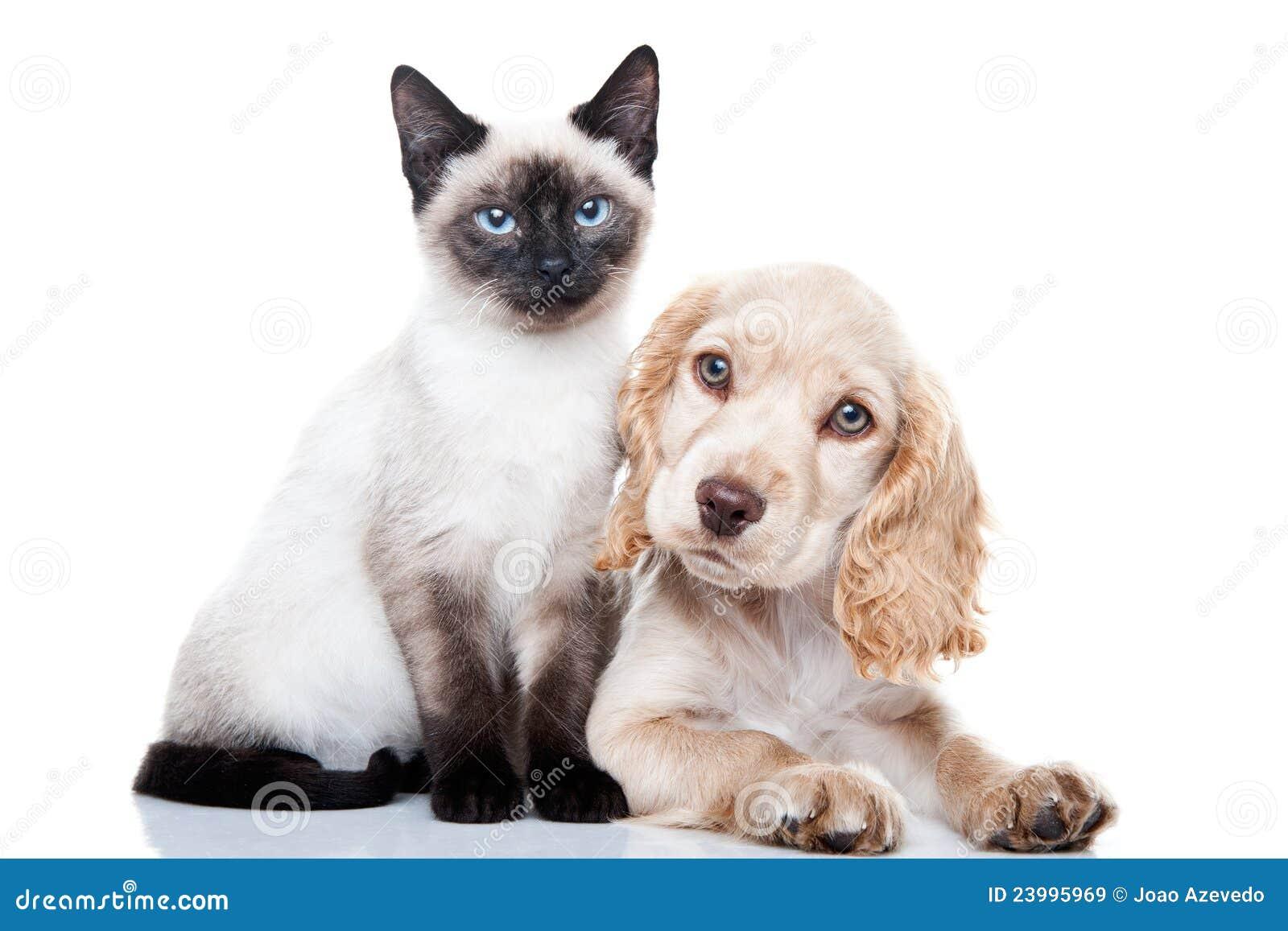 Perro de aguas de cocker y gatito