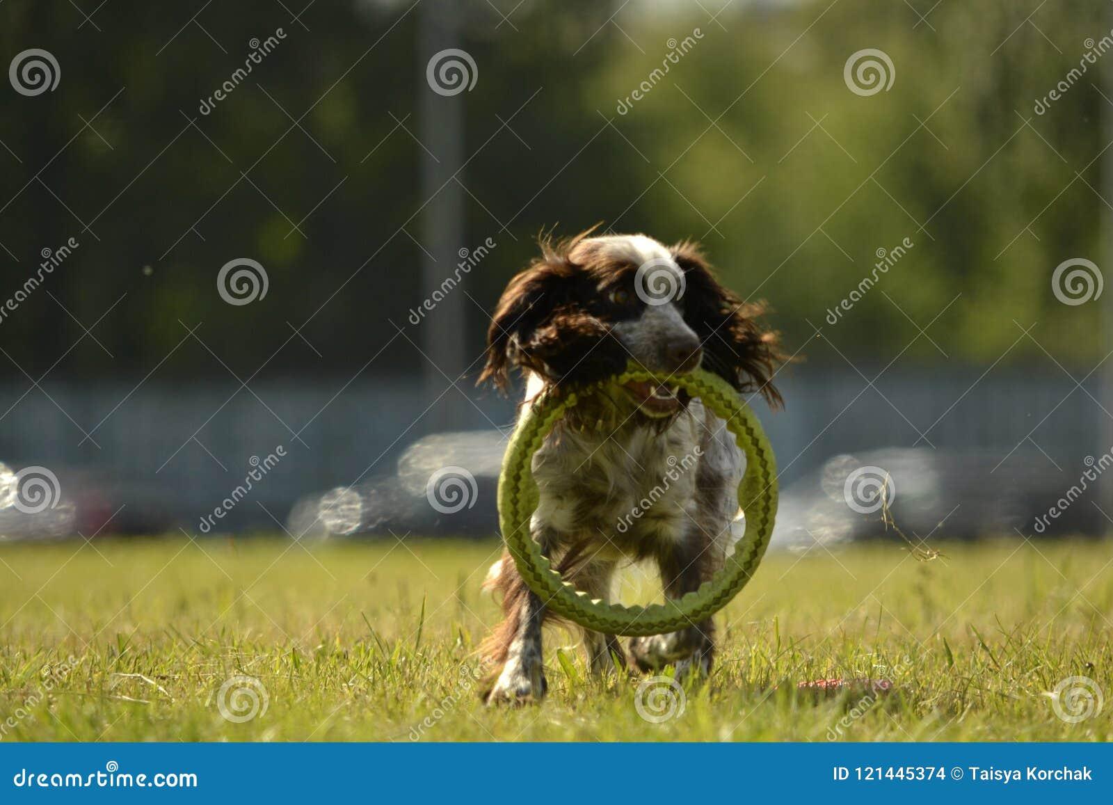 Perro de aguas ruso de la caza Perro enérgico joven en un paseo Educación de los perritos, cynology, entrenamiento intensivo de p