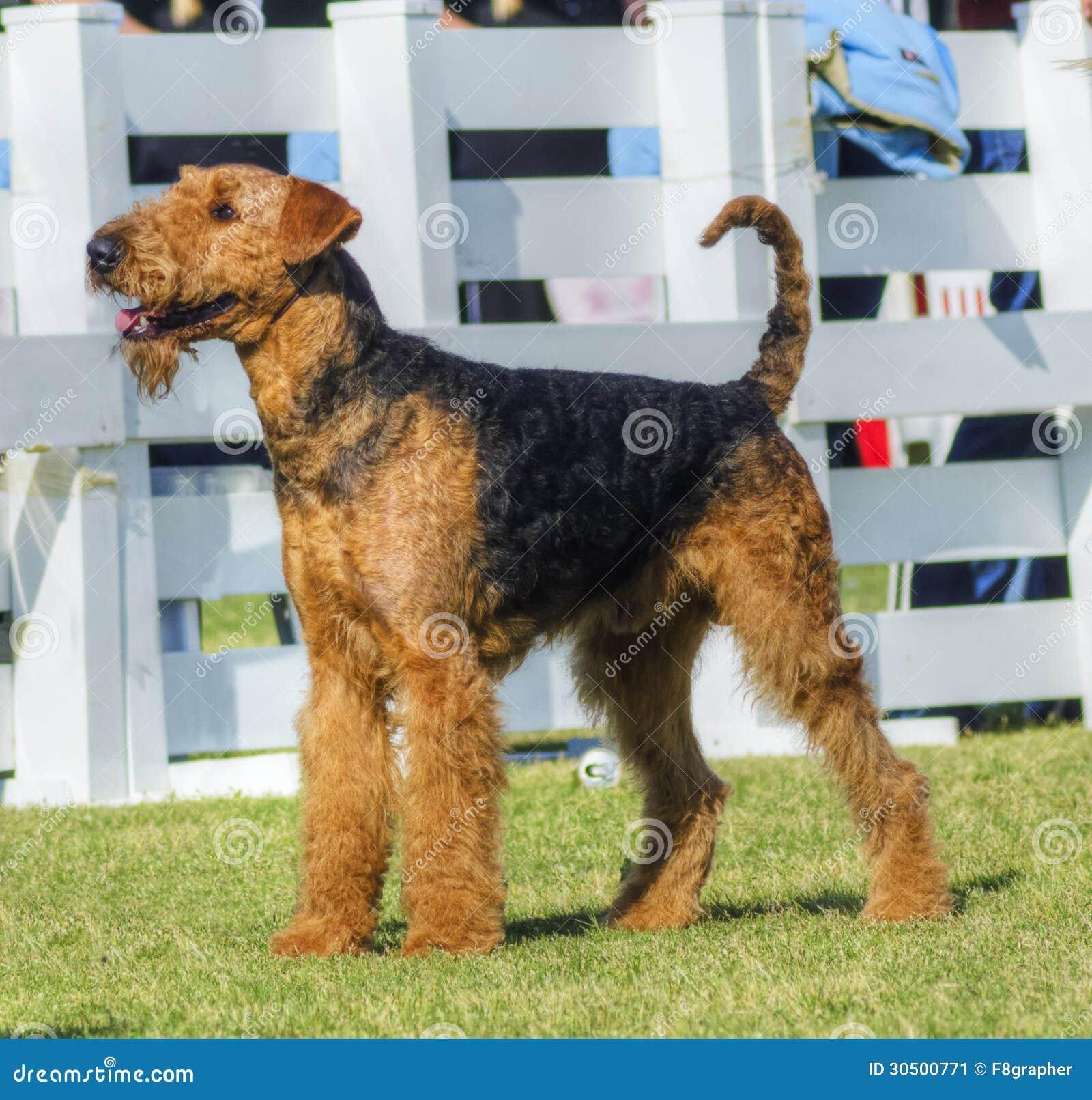 Perro de Airedale Terrier