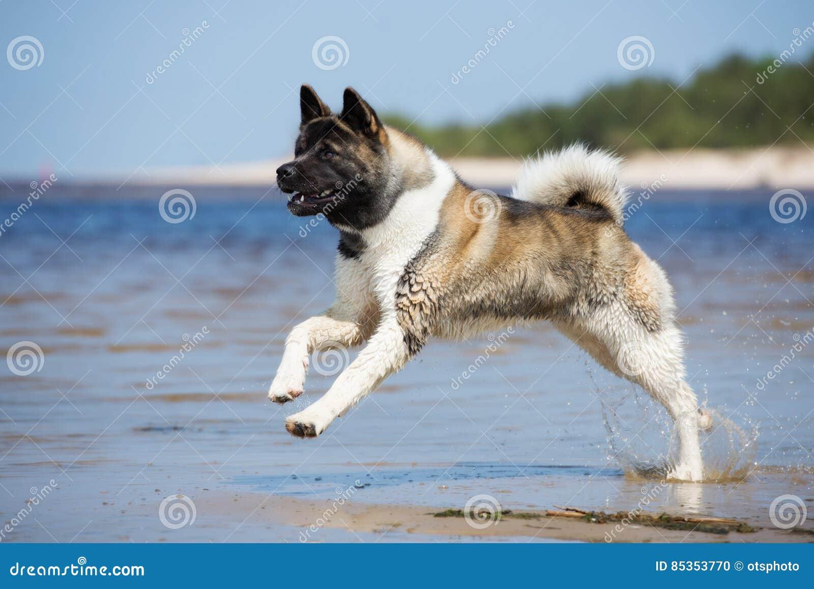 Perro de Akita del americano que juega en una playa