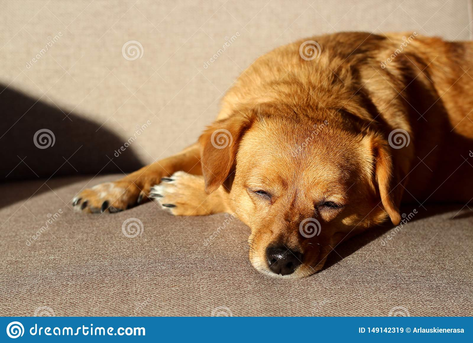 Perro de Brown que duerme en un sof?