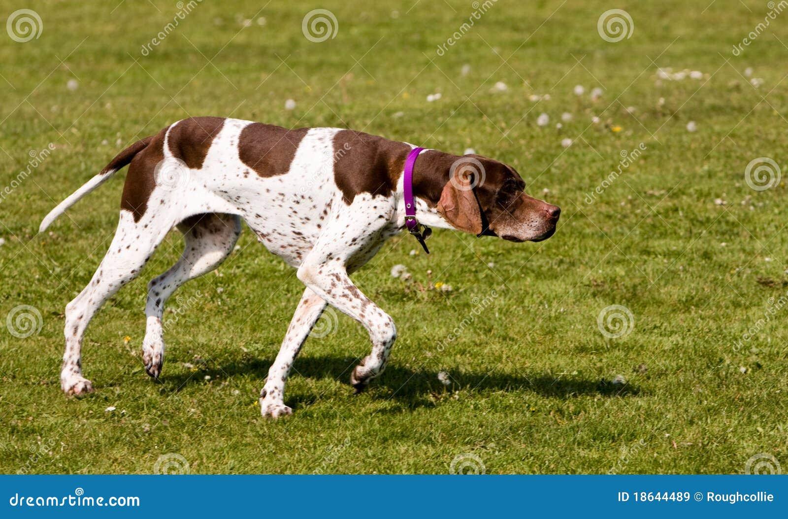Perro de caza inglés del puntero