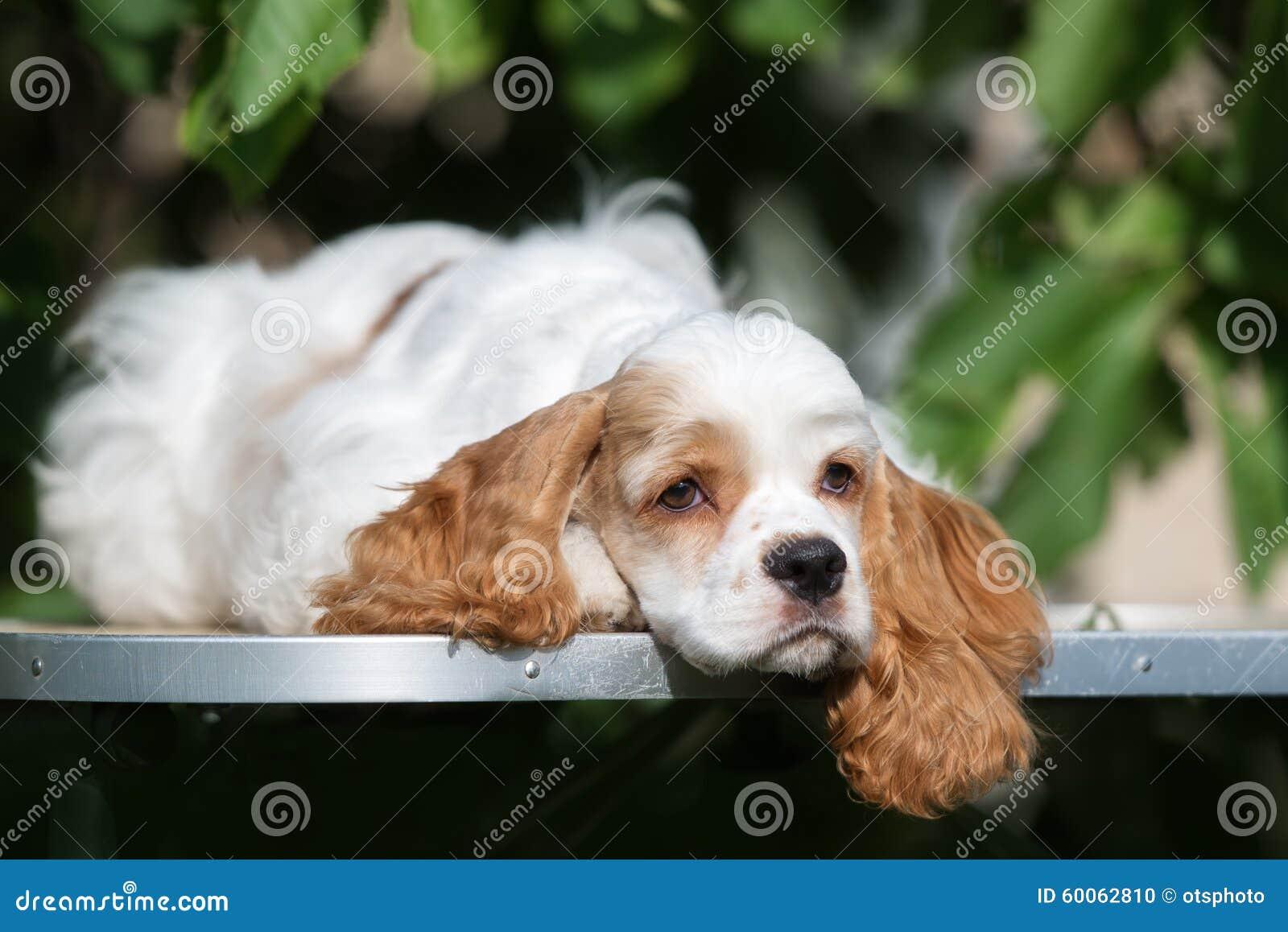 Perro de cocker spaniel del americano que se acuesta al aire libre