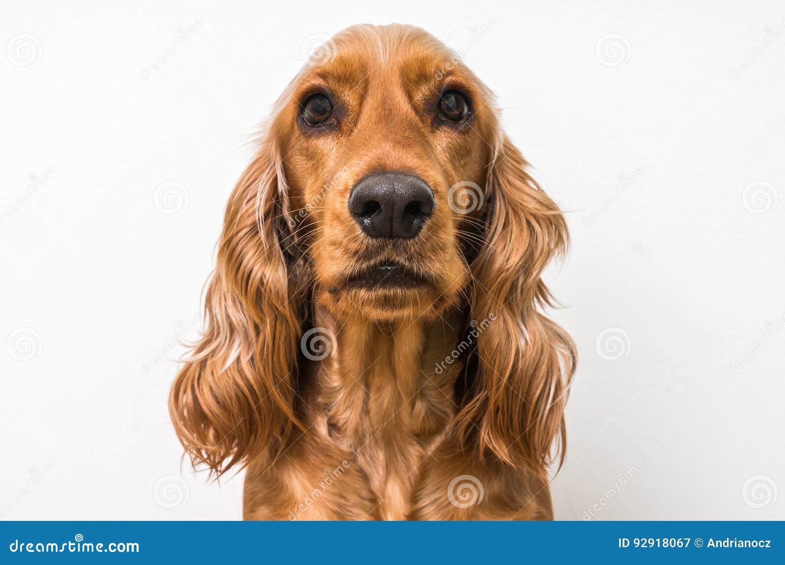 Perro de cocker spaniel del inglés en blanco