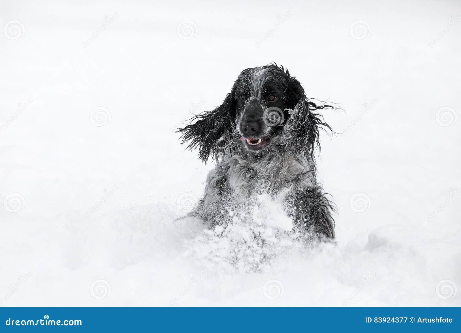 Perro de cocker spaniel del inglés que juega en invierno de la nieve