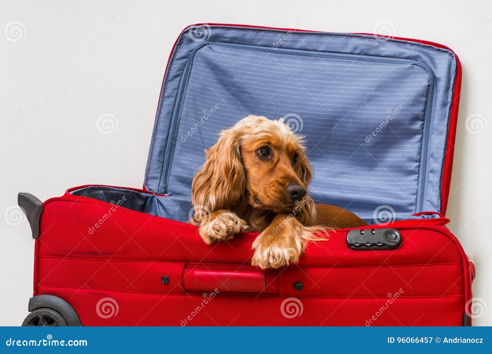 Perro de cocker spaniel en maleta
