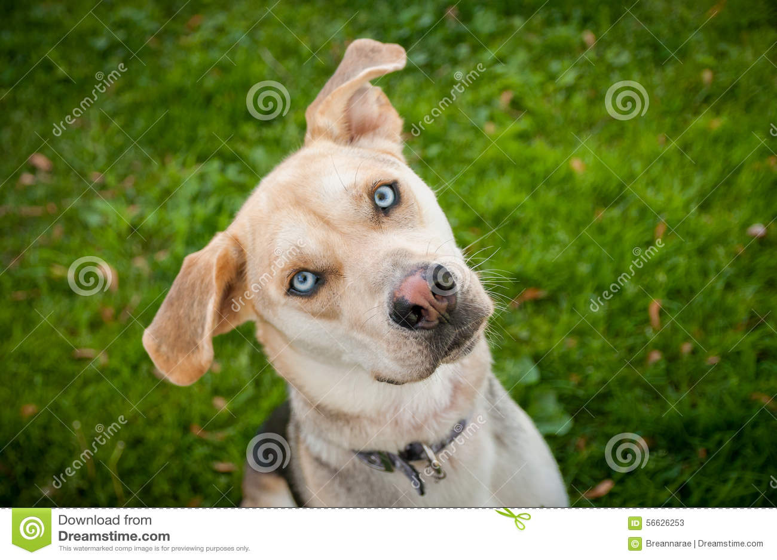 Perro de Husky Labrador Mutt Mixed Breed con los ojos azules